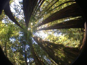 Redwoods and Rejuvenation